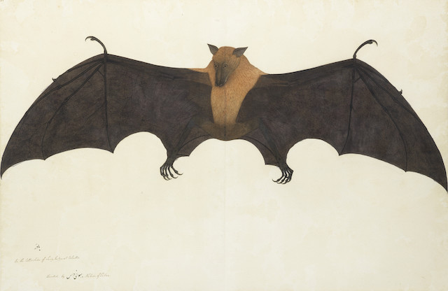 Bhawani Das, A Great Indian Fruit Bat, Courtesy Private Collection